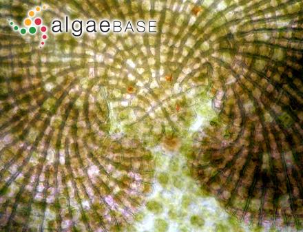 Corallina pusilla Sonder