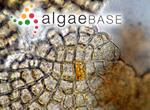 Pneophyllum fragile Kützing