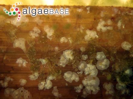 Prasiola japonica R.Yatabe