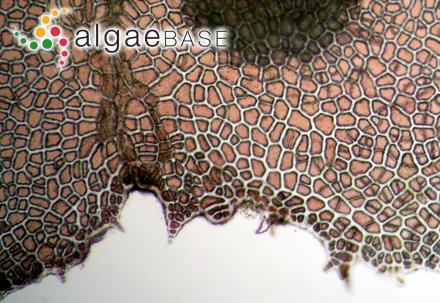 Bonnemaisonia elegans C.Agardh