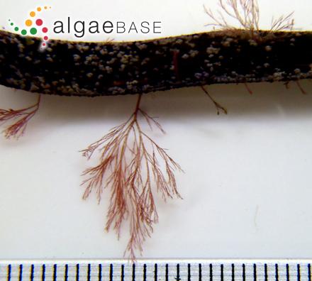 Calocladia suhrii J.Agardh