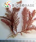Polysiphonia parasitica (Hudson) Greville