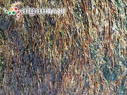 Callophyllis discigera (J.Agardh) J.Agardh