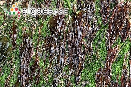 Pterigospermum capense (Montagne) Kuntze