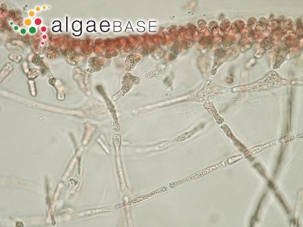 Xenococcus chaetomorphae Setchell & N.L.Gardner