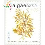 Sargassum platycarpum Montagne