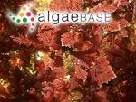 Corallina chilensis Decaisne