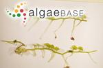 Caulerpa megadisca Belton & Gurgel