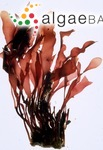 Phyllophora sicula (Kützing) Guiry & L.M.Irvine