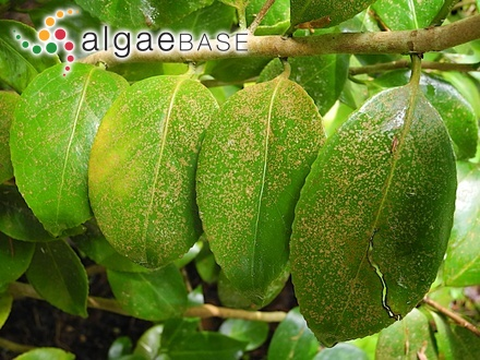 Rhodoglossum polycarpum J.Agardh