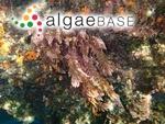 Lictoria taxiformis (Delile) J.Agardh