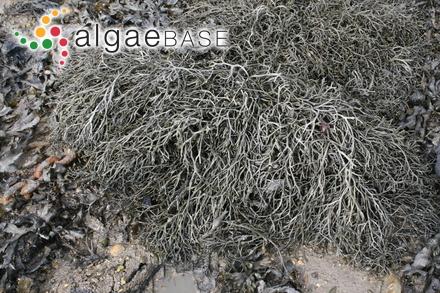 Lyngbya nigra C.Agardh ex Gomont