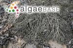 Ascophyllum nodosum var. mackayi (Turner) Cotton