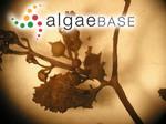 Sargassum lapazeanum Setchell & N.L.Gardner