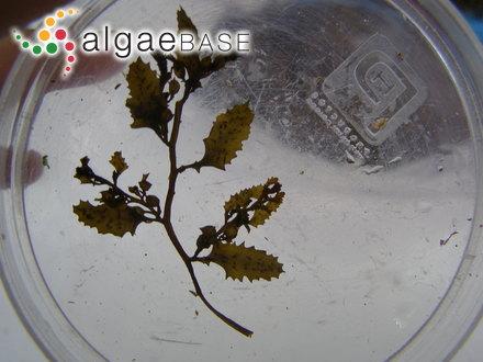 Chamaecalyx leibleiniae (Reinsch) Komárek & Anagnostidis