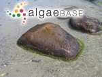 Nemalion elminthoides (Velley) Batters