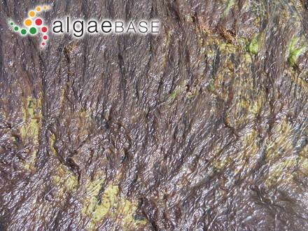 Griffithsia irregularis C.Agardh