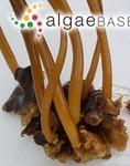 Aureophycus aleuticus H.Kawai, T.Hanyuda, Lindeberg & S.C.Lindstrom