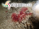 Erythroglossum laciniatum (Lightfoot) Maggs & Hommersand