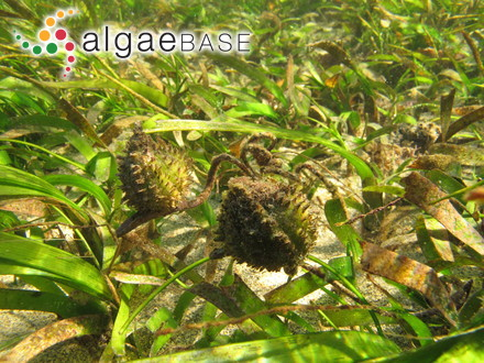 Peyssonnelia caulescens Kützing