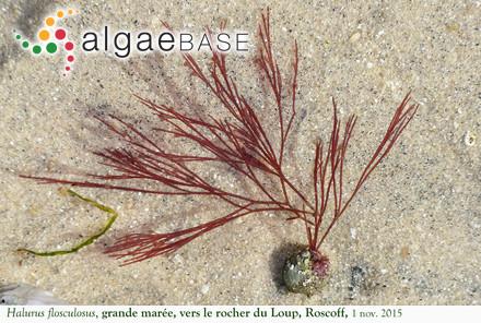 Pterigospermum caulescens (Kützing) Kuntze