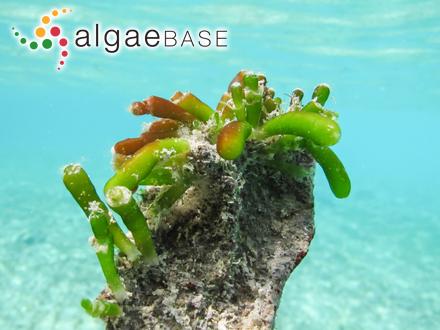 Goniolithon laccadivicum (Foslie) Foslie