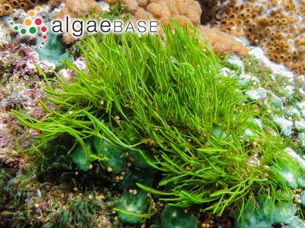 Hypnea purpurascens (Hudson) Harvey