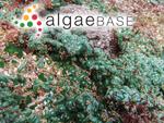 Caulerpa racemosa var. chemnitzia (Esper) Weber-Van Bosse