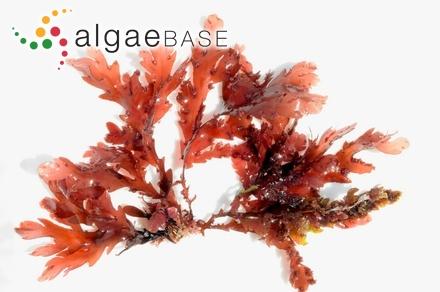 Melanthalia obtusata (Labillardière) J.Agardh