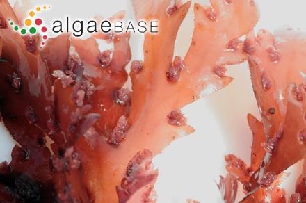 Fucus obtusatus Labillardière