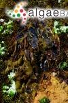 Pachymenia orbitosa (Suhr) L.K.Russell