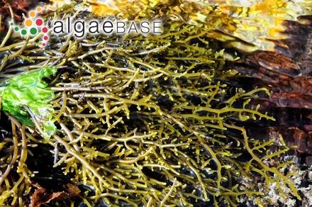 Gelidium biserratum Børgesen
