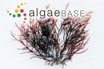 Chondria capensis (Harvey) Askenasy