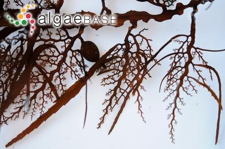 Gelidium pinnatifidum (J.Agardh) F.Schmitz