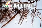 Sargassum longifolium (Turner) C.Agardh