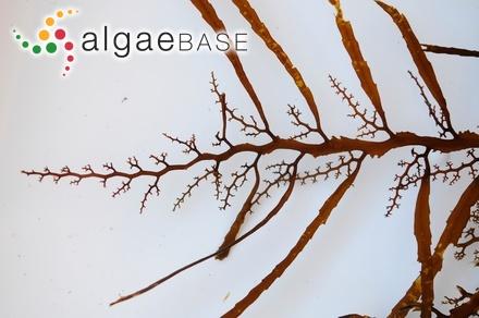 Gelidium pulvinatum f. parvissimum Børgesen