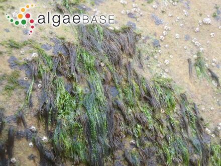 Chromastrum collopodum (Rosenvinge) Papenfuss
