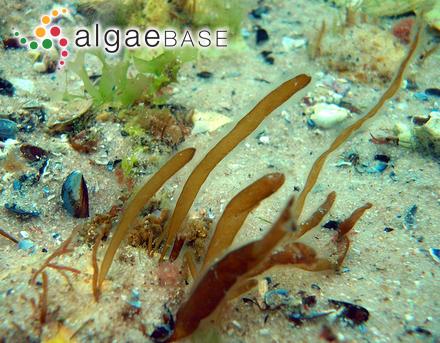 Chromastrum macula (Rosenvinge) Papenfuss