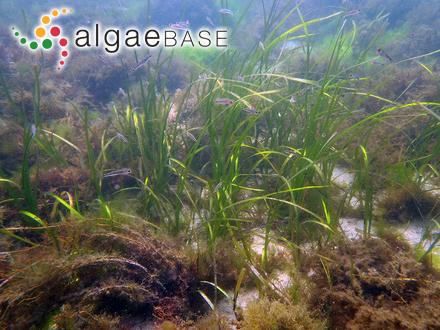 Halymenia palmata var. simplex C.Agardh