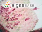 Bonnemaisonia asparagoides (Woodward) C.Agardh
