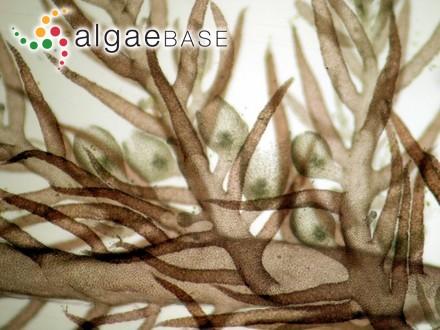 Ceramium siliculosum var. atrovirens C.Agardh