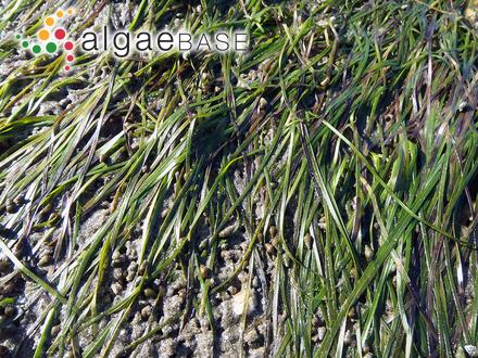 Ectocarpus siliculosus var. caespitosus C.Agardh