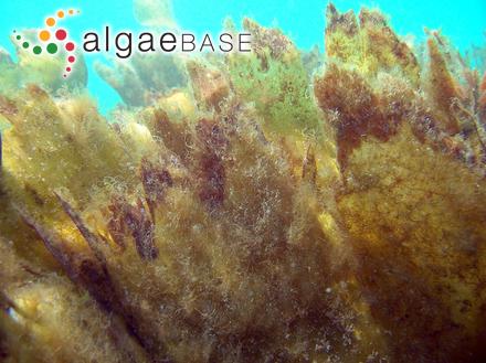 Ectocarpus siliculosus var. ferrugineus (Roth) C.Agardh