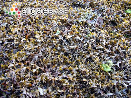 Fucus gladiatus Labillardière
