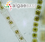 Bachelotia antillarum (Grunow) Gerloff