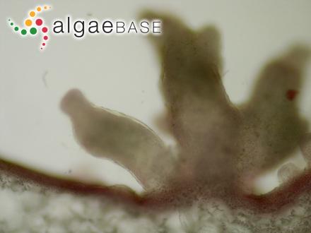 Ectocarpus tomentosoides f. norvegicus Gran