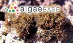 Sphaerococcus ustulatus (Mertens ex Turner) C.Agardh