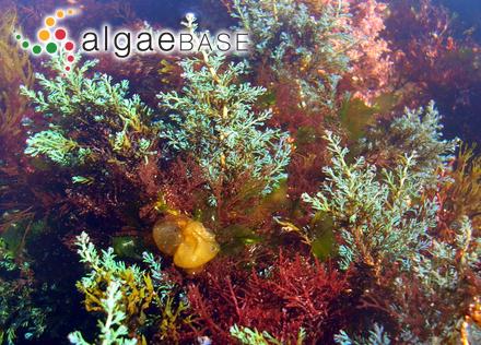 Ectocarpus aecidioides Rosenvinge