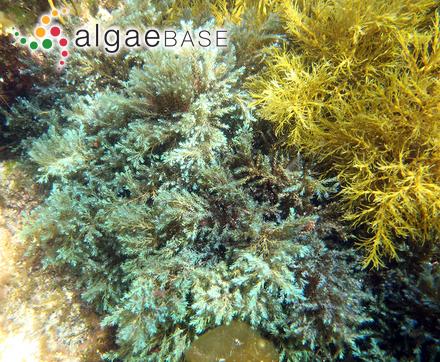 Phycocelis alariae Norum