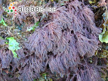 Ascocyclus ramosus Waern